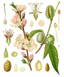 220px-Prunus_dulcis_-_Köhler–s_Medizinal-Pflanzen-250