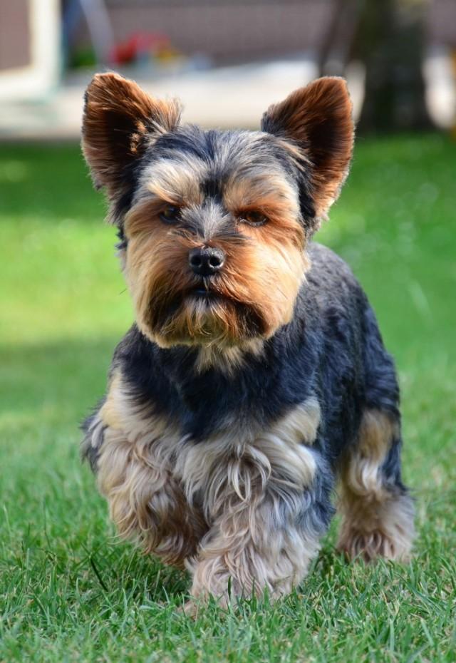 Yorkshire-Terrier2